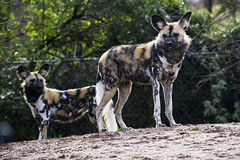 African Painted Dogs 16.02 (6) (R.J.Boyd) Tags: african painted dog chester zoo wildlife wild mammal animals canine