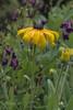 Rudbeckia in the rain (ChrisKirbyCapturePhotography) Tags: rudbeckia yellowflower chriskirbycapturephotography