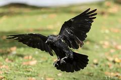 20171007_Vincennes_Corneille noire (thadeus72) Tags: aves birds carrioncrow corneillenoire corvidae corvidés corvuscorone oiseaux passériformes