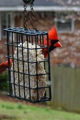 Northern Cardinal on our Suet Feeder | March 1st (steveartist) Tags: americancardinal malecardinal suetfeeder telephoto sonydscwx220 snapseed stevefrenkel closeups bokeh suetfood