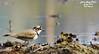 Just Pause... (r0ysuman) Tags: little ring plover brown black water bird nikon coolpix p 530 iit kanpur india fauna ganga canal barrage
