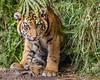 Emerging from the Jungle (Penny Hyde) Tags: babyanimal cub safaripark sumatrantiger tiger tigercub
