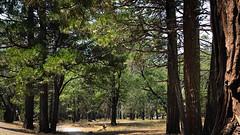 Sequoias VI (frantyky) Tags: eeuu usa naturalpark costaoeste westcoast eastcoast trees paisaje yosemite viaje california parquenatural trip sequoias ladscape árboles vacaciones naturaleza