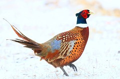 ring-necked pheasant rooster near Lime Springs IA 854A9186 (lreis_naturalist) Tags: ringnecked pheasant rooster lime springs howard county iowa larry reis