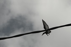 282 - Cortar las alas (dreyphotos) Tags: cortar alas blanco negro bn paloma cut wings white black bird pájaro dove artística metáfora metaphor