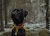 Chilla (Nordas) Tags: dog forest thinking lab black green eyes portrait svart labrador porträtt skog wood tree animal pet dogs d3100 nikon 35mm 35 aland åland winter vinter finland scandinavia