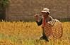 IMG_0488 - копия (Kalina1966) Tags: bali island indonesia people rice field
