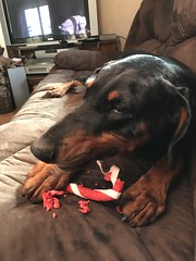 Candy Canes Aren't Just For Christmas (firehouse.ie) Tags: girl gabbana k9 dogs dog tan black pinschers pinscher dobermans dobermanns dobermann doberman dobies dobie dobeys dobey dobes dobe