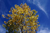 Autumn at Heritage Square - Flagstaff, AZ (SomePhotosTakenByMe) Tags: baum tee indiansummer laubfärbung plant pflanze urlaub vacation holiday usa amerika america unitedstates arizona flagstaff stadt city heritagesquare outdoor downtown innenstadt foliage