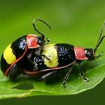 Leaf beetles mating, Asphaera sp. thumbnail