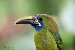 Toucanet (Megan Lorenz) Tags: emeraldtoucanet bluethroatedtoucanet toucan bird avian rainforest nature wildlife wild wildanimals travel costarica mlorenz meganlorenz