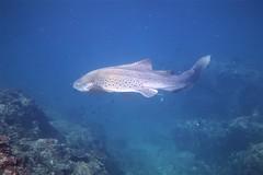 Leopard / Zebra Shark (Stegostoma fasciatum) (sarah.handebeaux) Tags: leopard zebra shark stegostoma fasciatum solitary island nsw australia