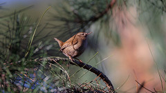 Watching far away (Franck Zumella) Tags: bird oiseau wren troglodyte mignon small little petit nature wildlife vie sauvage wood bois forest foret animal wild king roi light lumiere winter hiver colors color couleur red rouge blue bleu green vert sony a7s