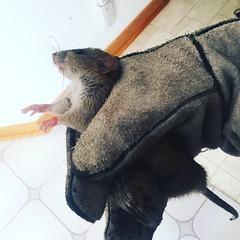 Anglų lietuvių žodynas. Žodis cat and rat reiškia katės ir žiurkės lietuviškai.