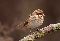 Reed Bunting (F) -Sprotbrough Flash (westoncfoto) Tags: sprotbrough flash ywt