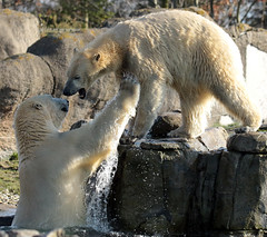 polarbear Blijdorp BB2A5855 (j.a.kok) Tags: ijsbeer polarbaer beer bear blijdorp ursusmaritimus animal predator mammal zoogdier dier
