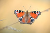 Inachis io (fabriciodo2) Tags: inachisio paondujour papillon macro nature tamron90 butterfly mariposa