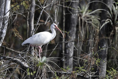 American White Ibis in tree (Alan Vernon.) Tags: american white ibis eudocimus albus tree wading red bill beak swamp wetland bird avian nature wild wildlife birding birdwatching