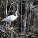American White Ibis in tree