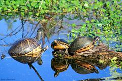 Turtle Fun (Wonder Woman !) Tags: turtle floridaboxturtle circlebbarreserve lakelandflorida ngc nature