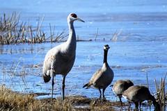 Standing Tall (Patricia Henschen) Tags: sanluisvalley goose geese cackling canada sandhillcrane sandhillcranes cranes migration winter colorado montevistanationalwildliferefuge montevista