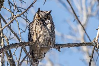 Grand duc d'Amérique  - Great Hornes Owl