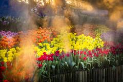 Tulips Thailand (♥siebe ©) Tags: 2018 chiangmai flowerfestival siebebaardafotografie thai thailand festival flower flowers tulip tulips tulpen wwwsiebebaardafotografienl light water เชียงใหม่ ดอกไม้ ไทย ประเทศไทย เมืองไทย park nongbuapark
