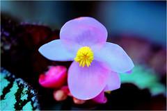 begonia........... (atsjebosma) Tags: begonia colourful kleurrijk bokeh atsjebosma groningen thenetherlands nederland coth5