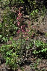 Ipomopsis sancti-spiritus, San Miguel Co., NM (RonParsonsflowershots) Tags: ipomopsissanctispiritus nm sanmiguelco