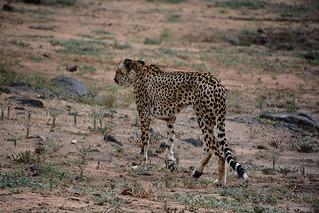 Guépard / Cheetah Soith Africa _3928