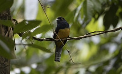 Trinidad (richard.mcmanus.) Tags: trinidad rainforest bird guianantrogon trogon wildlife mcmanus tropics