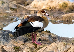 Egyptian Goose (mayekarulhas) Tags: krugerpark mpumalanga southafrica za egyptian goose canon canon500mm avian africa bird