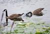 july 2016 lake katherine (timp37) Tags: geese palos lake katherine illinois july 2016 summer dragonfly