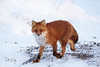 Red Fox (Vulpes vulpes) (Dan King Alaskan Photography) Tags: fox redfox vulpesvulpes tundra alaska prudhoebay canon50d sigma150600mm