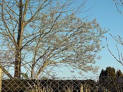 2018-02-24 morning (2)magnolia (april-mo) Tags: magnolia tree buds springflowers