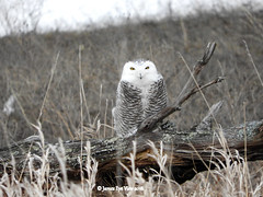 Snowy Owl! (JamesEyeViewPhotography) Tags: snowy owl birds michigan trees grass nature snow winter february northernmichigan jameseyeviewphotography