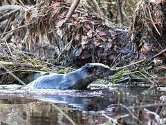 otter (colskiguitar) Tags: otter lutra donside aberdeen seatonpark otters riverdon riverlife mammals scottishmammals ukwildottertrust