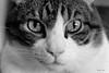Mirada felina (nayosoval) Tags: sergio naya nayoso nayosoval byn bw blancoynegro bn gato cat animal fuji fujifilm xt10