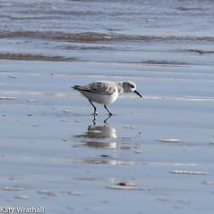 Still life (Katy Wrathall) Tags: 2018 eastriding eastyorkshire england february fraisthorpe beach bird coast dunlin sea wader winter