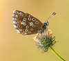Dew drenched Adonis. (trevorwilson1607) Tags: adonisblue polyommatusbellargus lepidoptera butterfly insect earlymorning dewy cool olympusmicro43rds handheld 100thsec 250iso f35 macro