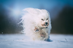 Mika im Schnee (buchsammy) Tags: buchsammy fell haustier jung langhaar malteser pfohren schnee sonnenschein sony sonyalpha9 sonyselfe70200mmf28gmos säugetier tier winter action havaneser hund outdoor schnell toben weis sonyselfe70200mmf28gmoss