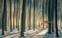 Beech Forest (Guido de Kleijn) Tags: forest beech speulderbos veluwe guidodekleijn nikond500 nikon1680f28 sunrise mist leaves nikon bos light sunlight sunrays