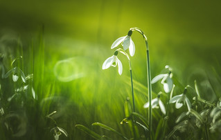 Spring Crocus, Snowdrops series - 11