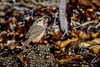 Rock Wren (halladaybill) Tags: crystalcovestatepark rockwren troglodytes california orangecounty newportbeach beach