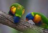 Rainbow lorikeets (dicktay2000) Tags: canonef100400mmf4556lisusm lanecovenationalpark ©richardtaylor 40d australia nsw sydney 20120421img8094