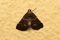 Pyralidae sp. (Moth) - South Africa (Nick Dean1) Tags: animalia arthropoda arthropod hexapoda hexapod insect insecta lepidoptera moth pundamaria krugernationalpark southafrica pyralidae