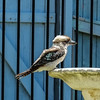 20180114-DSCF2033 (PM Clark) Tags: kookaburra xpro1 copacabana centralcoastnsw