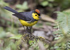 Collared Redstart (Myioborus torquatus) (Gmo_CR) Tags: myioborustorquatus collaredredstart candelitacollareja amigodehombre costarica coronado monserrat guillermosaborio gmocr