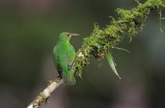 Green Honeycreeper female  / Guit-guit émeraude / Chlorophanes spiza (fem ) (ricketdi) Tags: greenhoneycreeper guitguitémeraude chlorophanesspiza birdofcostarica ngc coth5 npc sunrays5