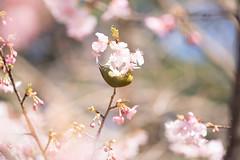 _DSC0772.jpg (plasticskin2001) Tags: mejiro sakura flower bird